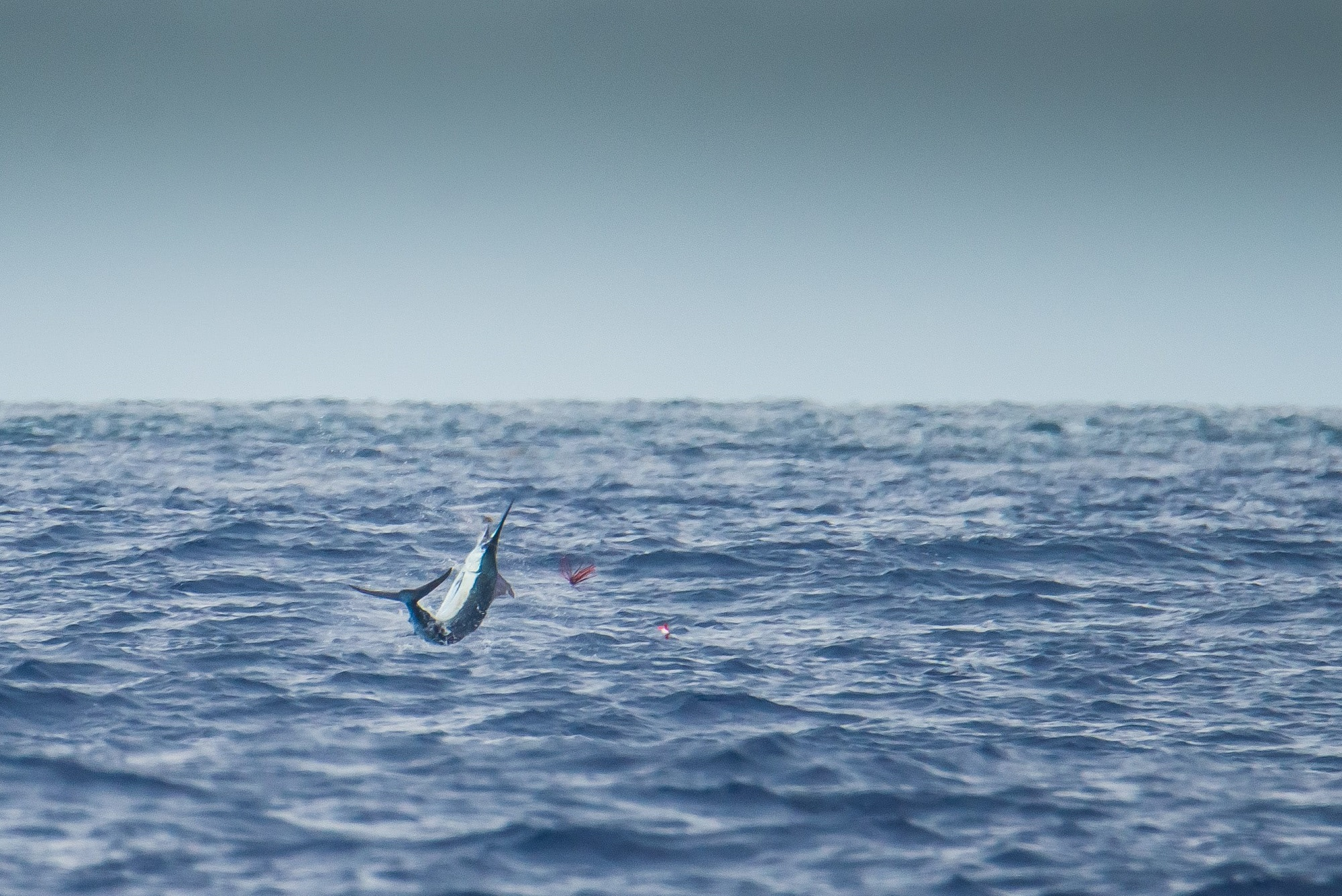 Mauritius Billfish Release International Tournament_6